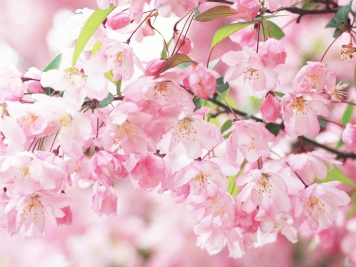Cherry-blossom-petals-pink-spring_1600x1200